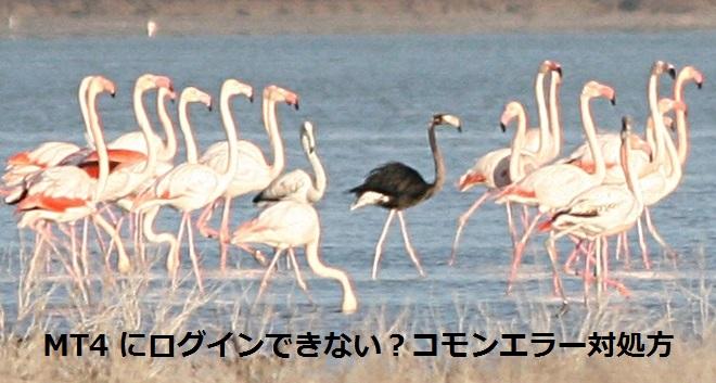black_flamingo.jpg